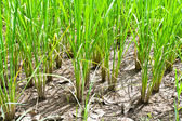 Young rice sprout in field rice — Stock Photo