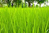 Rice field green grass — Stock Photo