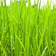 Rice field green grass — Stock Photo