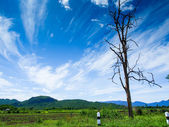 Old dry tree on roadside with blue sky — Stock Photo