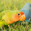 Stock Photo: Lovebird, Agapornis roseicollis