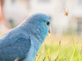 Pacific parrotlet, forpus coelestis op groen gras (forpus is een — Stockfoto