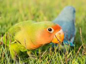 Lovebird, Agapornis roseicollis — Stock Photo