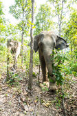 Elefante de asia en bosque tropical, tailandia — Foto de Stock