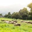 Stock Photo: Flock of sheep on beautiful mountain meadow