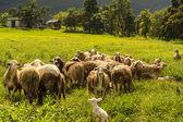 Stádo ovcí na zelené trávě — Stock fotografie