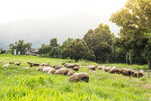 Flock of sheep on beautiful mountain meadow — Stock fotografie