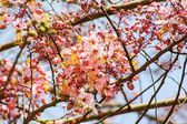 Wishing Tree, Pink Showe, Cassia Bakeriana Craib, Beneath a tree — Stock Photo