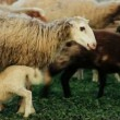 Stock Video: sheep