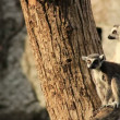 Stock Video: Lemur