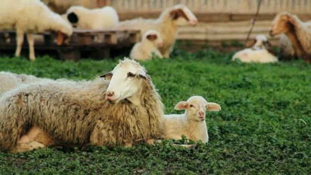 Ganado ovino — Vídeo de stock
