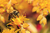 Honey Bee on Yellow Flower, Close Up Macro — Stock Photo