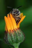 Honey Bee on Yellow Flower — Stock Photo