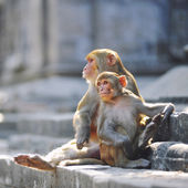 Monkeys sitting on a stone — Stock Photo