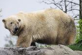 A walking polarbear on some wet rocks. — Stock Photo