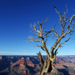 Grand Canyon and a Tree — Stock Photo