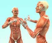 Menschliche anatomie — Stockfoto