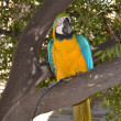Macaw parrot with yellow and blue feathers at the zoo  — Stock Photo