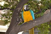 Macaw parrot with yellow and blue feathers at the zoo — Stok fotoğraf