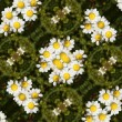 Daisy flowers — Stock Photo #20168069