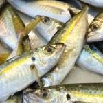 Mackerel — Stock Photo #20615051