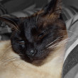 Siamese cat — Stock Photo #23066492