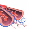 Arteries and veins — Stock Photo