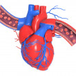 Stock Photo: Humheart with veins and arteries