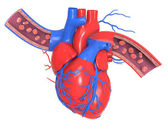 Human heart with veins and arteries — Stock Photo