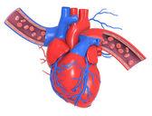 Coração humano com veias e artérias — Foto Stock