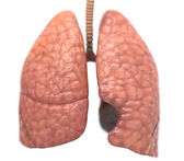 Healthy lungs — Stock Photo