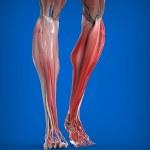 Постер, плакат: Lower Legs Muscles Anatomy