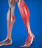 Lower Legs Muscles Anatomy — Stock Photo
