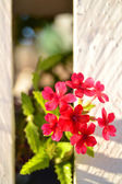 Geranium flowers — Stock Photo