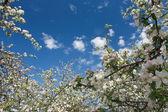 White flowers(apple-tree) — Stock Photo