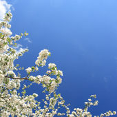 White flowers(apple-tree) — Stock Photo
