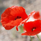 Poppy flower closeup. Spring. — Stock Photo