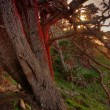 Red glowing Cypress near sunset — Stock Photo #19518941