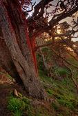 красный светящийся кипарис возле закат — Стоковое фото