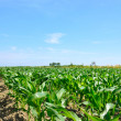 Young corn on a plantation in the Delta del Po, Rovigo, Veneto, Italy — Stock Photo