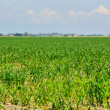Young corn on a plantation in the Delta del Po, Rovigo, Veneto, Italy — 图库照片