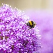 Purple Allium with Honey Bee — Stock Photo