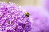 Purple Allium with Honey Bee — Stock Photo