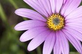 Close Up of Purple Osteospermum — Stock Photo