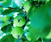Closeup of green apples on a branch in an orchard — Stock Photo