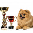 Stock Photo: Spitz dog - champion