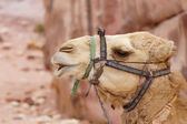Camel in Petra. — Stock Photo