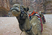 Camels in Petra — Stock Photo