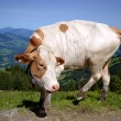 Austrian Cow — Stock Photo
