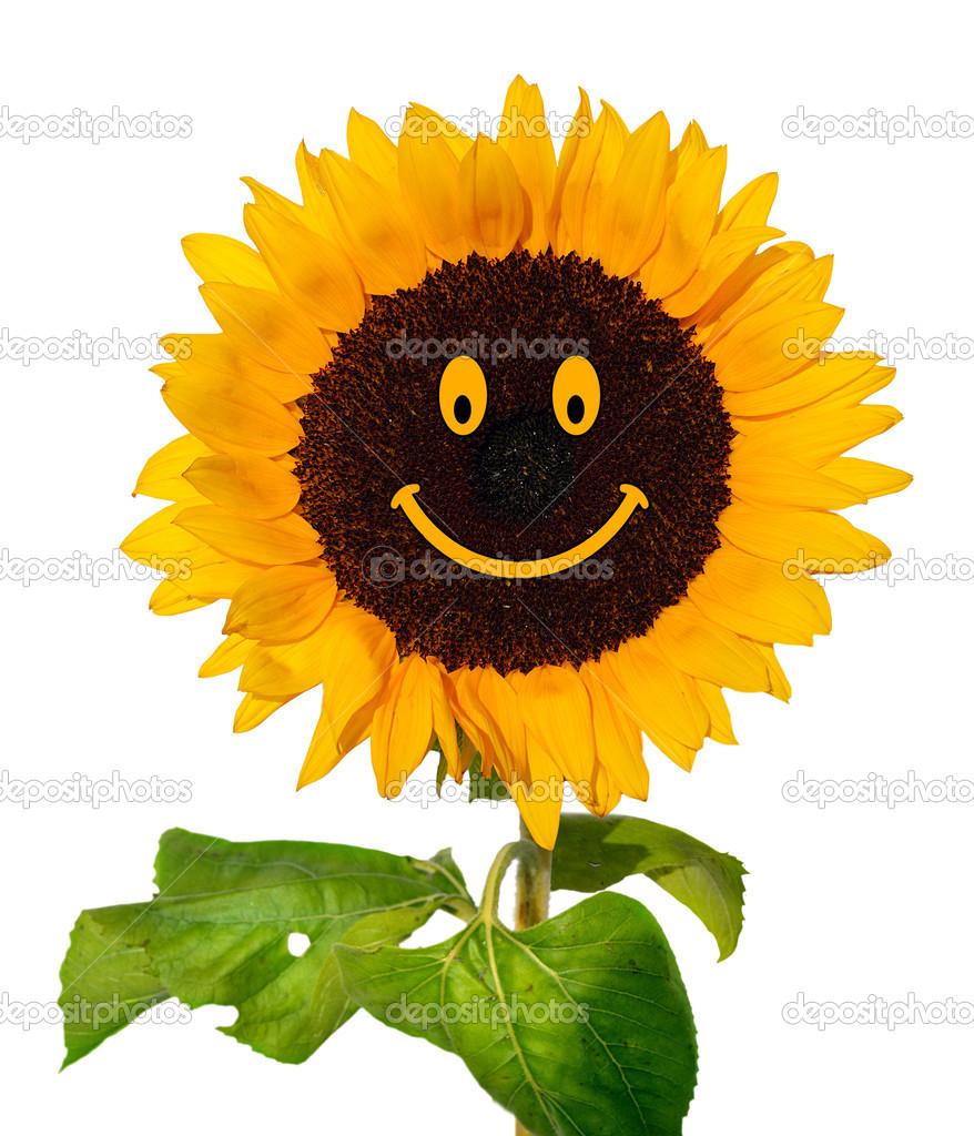 Smiling Sunflower Images Smiling Sunflower on White